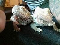 Bearded dragons and full set up