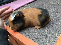 Baby male guinea pigs (6left)