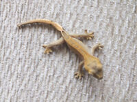 3 young crested geckos