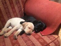 KC Reg Pedigree Black and Yellow Labrador pups