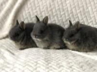 Pure bred Netherland Dwarfs (very small so indoor only)