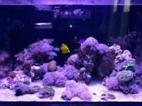 Pulsing xenia frag coral marine tank
