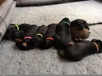 Chunky KC Registered Dobermann Puppies for Sale