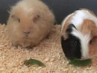 10 month year old female guinea pigs in need of loving home!