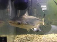 Aquarium Shark - Fully Grown Fish