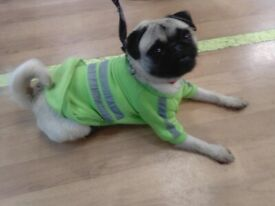 girl pug house trained 0-7-4-3-2 3-0-0-6-6-3 GET IN TOUCH
