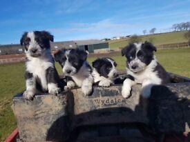 Beardie pups