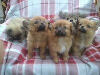 pomeranian x tibetan spaniel puppies