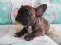Gorgeous French Bulldog Puppy