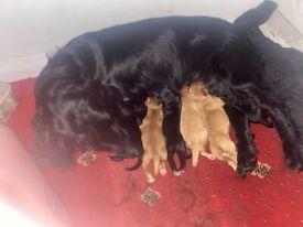 F1b cockapoo puppies ready now