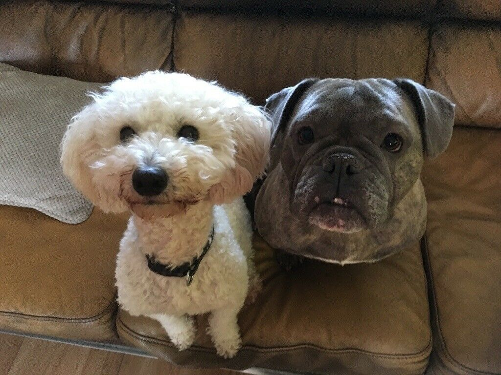 Puppies English bulldog X miniature poodle | in Llanelli, Carmarthenshire |  Gumtree