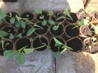 Plants of vine tomatoes and cauliflower