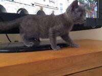 Russian Blue pedigree kittens grey kittens