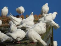 Pure white garden doves, Mid Wales
