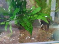 Baby mollies fish
