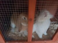 Two large rabbits for sale with cage and other accessories