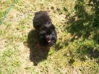 small black pomeranian male for sale