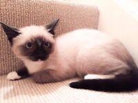 Beautiful half siamese kitten