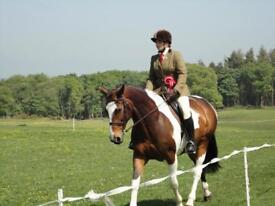 16.2 hh Showing Riding Club Dressage Fun horse for loan