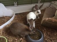Pair male rabbits 9 weeks old