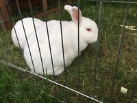 2 NZ white rabbits, brothers, neutered/vac, run and hutch included