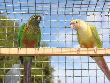 Fallow Maroon Bellied Conures