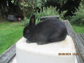 Netherland Dwarf Rabbits, small and beautiful colours