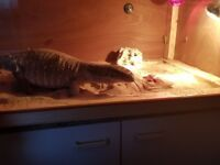 Large bosc monitor and viv
