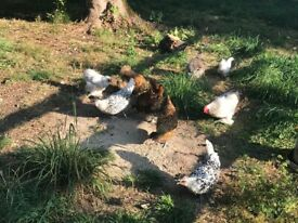 Home bred gorgeous Appenzeller chickens and bantum Chickens for sale