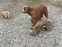 2 Stunning, healthy Boy KC reg Bulldog Pups ready 3rd April