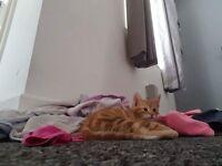 Ginger boy kitten 8 week