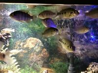 Tropical Fish - Spotted Tilapia (Tilapia Mariae)
