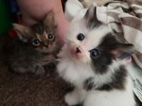 2 short haired kittens