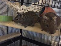 2 male degus and cage