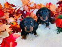 Miniature Dachshund Smooth Coat Puppies