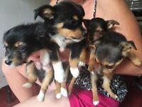 Chi x jack puppies