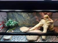 BEARDED DRAGON, VIVARIUM , LIGHTS AND ORNAMENTS - FORE SALE