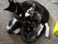 "Friendly, Cute ""Tabby"" and ""Black and White"" Kittens for Sale"