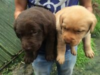 Stunning Labrador pups for sale
