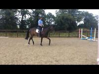 Warmblood Mare for Sale