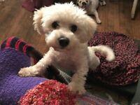 Adorable Bichon Maltese for sale