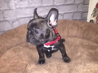 FRENCH BULLDOG FEMALE CHOCOLATE BRINDLE PUPPY.. Carrier of Cream/blue/ poss Chocolate: