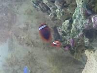 Pair of tomato clownfish