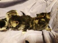 kittens for deposits