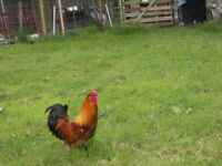 2 roasters for sale.one golden bantam and one black roaster.four pounds each .nice looking birds....