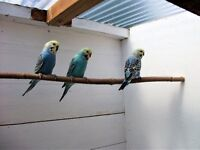 cute 8 week old rainbow budgies, ready for further taming talking ect