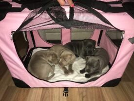 Beutiful blue staffy puppies and stunning rare champagne blue pupies