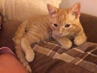 Beautiful Ginger Cat 20 weeks old