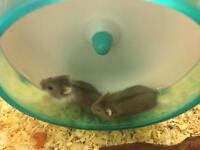 russian dwarf hamster baby