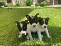 Jack Russell puppy's (all girls)